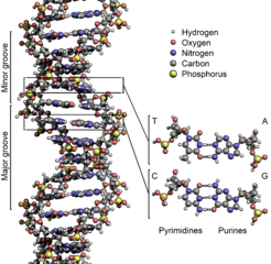 246px-DNA_Structure+Key+Labelled.pn_NoBB