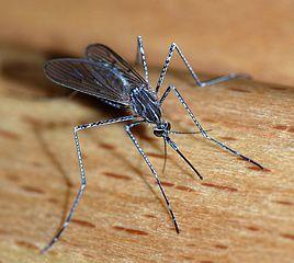 268px-Mosquito_2007-2