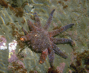 291px-Sea_star_regenerating_legs