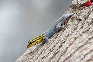 300px-Dwarf_Yellow-headed_gecko_edit