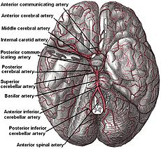 230px-Arteries_beneath_brain_Gray_closer-1