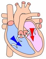 Heart_diastole